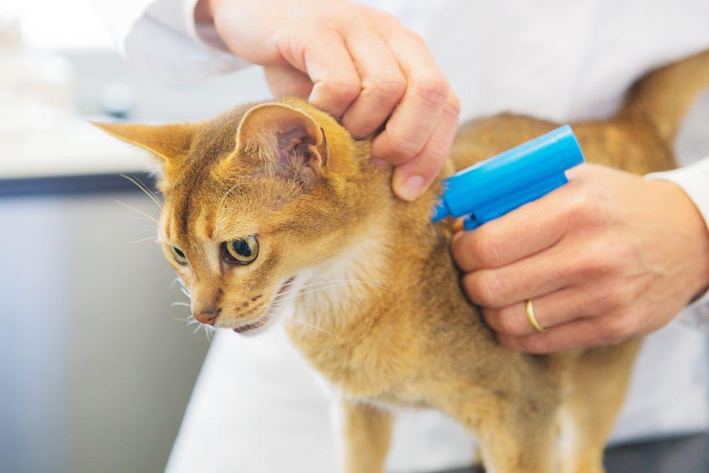 Den Vanligste Formen For ID-merking Av Katter Er Med Mikrochip. Blir Katten Borte Og Funnet Av Andre Kan Brikken Skannes.