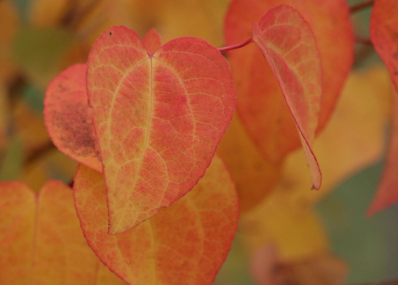 Hjertetre Gir Fine Røde Farger. Foto: Jorun Hovind