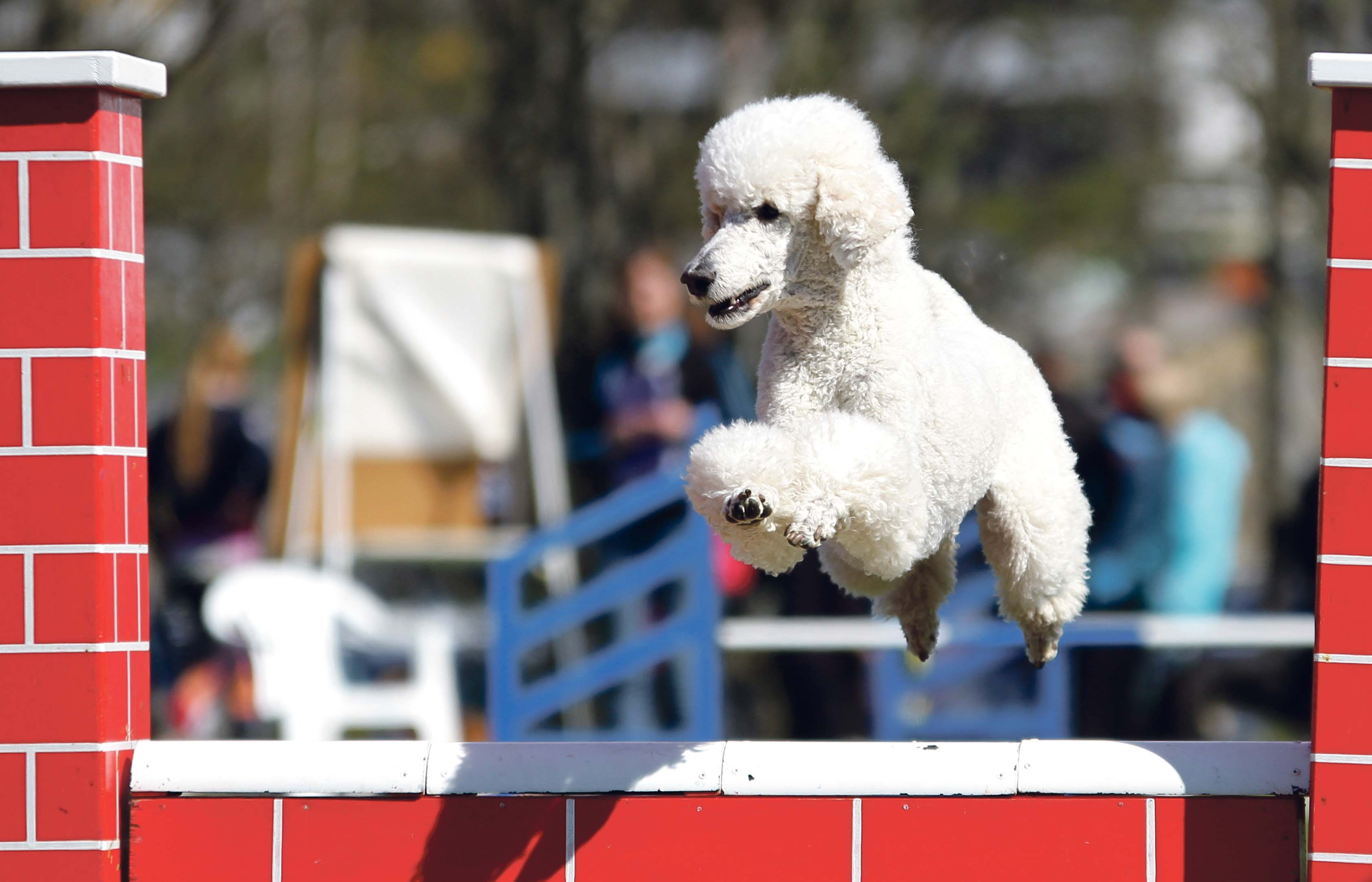 HOPP: - Agility Er En Sport Som Kan Sammenlignes Med Sprangridning For Hester, Forteller Johansen. Alle Foto: Vibeke Brath