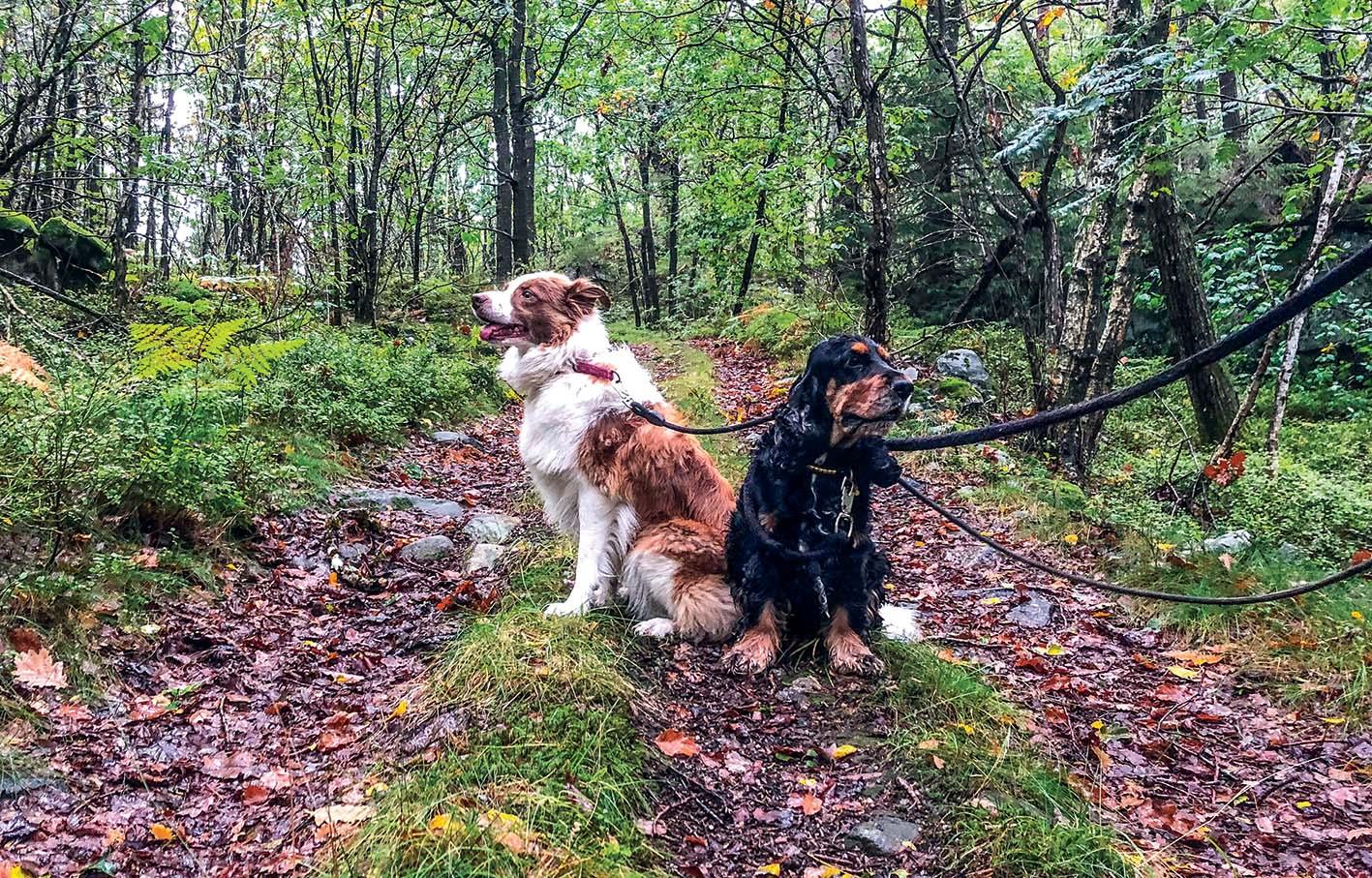 SYKDOMSSPREDNING: Det Er Funnet Alvorlig Smittebærende Sykdom Hos Hunder Også På Agder. Hundene På Bildet Er Ikke Syke.